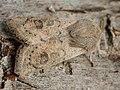 Orthosia gracilis - Powdered Quaker - Ранняя совка тёмно-серая (40182649225).jpg