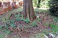 Orto botanico, fi, taxodium distichum 01.JPG