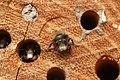Osmia cornuta (32975203343).jpg