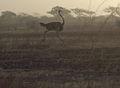 Ostrich in Waza Park.jpg
