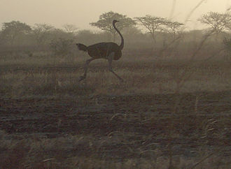 Waza National Park - A North African ostrich running at Waza National Park.