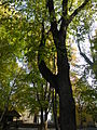 Ostrya carpinifolia (10).JPG