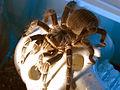 Our 8 yr. old tarantula, Survivor - Flickr - Andrea Westmoreland.jpg