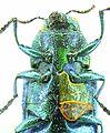 Ovalisia (Scintillatrix) mirifica detail1.JPG