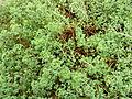 Oxalis succulenta.JPG