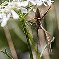 Oxyopidae-Araignée lynx-20160420.jpg