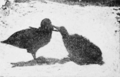 PSM V63 D328 Sooty albatross feeding its young.png