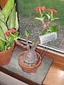 Pachypodium baronii - Tower Hill Botanic Garden.JPG