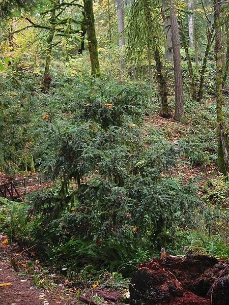 if de l'ouest taxus brevifolia