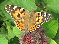 Painted Lady Butterfly on Burdock, near Wilstone Reservoir - geograph.org.uk - 1440359.jpg