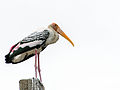 Painted Stork - Jason Thompson.jpg