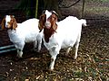 Pair of horned boer goats.jpg