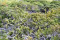 Palmer's Frankenia (Frankenia palmerii) (6584413657).jpg