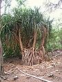 Pandanus jalvitensis - Koko Crater Botanical Garden - IMG 2161.JPG