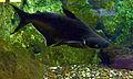 Pangasius Aquarium tropical du Palais de la Porte Dorée 10 04 2016 2.jpg