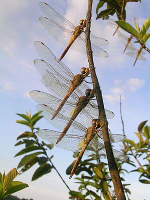 Dragonfly - An aggregation of globe skimmers, Pantala flavescens, during migration
