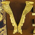 Panthera pardus-mandíbula vista superior-Caune de l'Arago.jpg