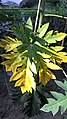 Papaya tree leaf.jpg