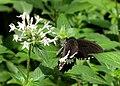 Papilio Polytes Cyrus Form (73173619).jpeg