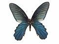Papilio alcmenor C. & R. Felder, -1864-Male.JPG