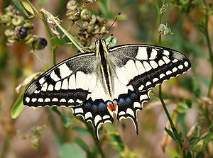 Papilio machaon, Livorno.jpg