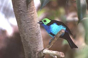 Andes to Amazon - The paradise tanager, a rainforest species