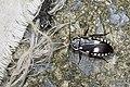 Paranauphoeta formosana (27644785392).jpg
