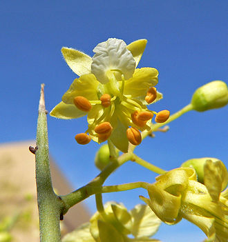 Parkinsonia microphylla - Image: Parkinsonia microphylla 2