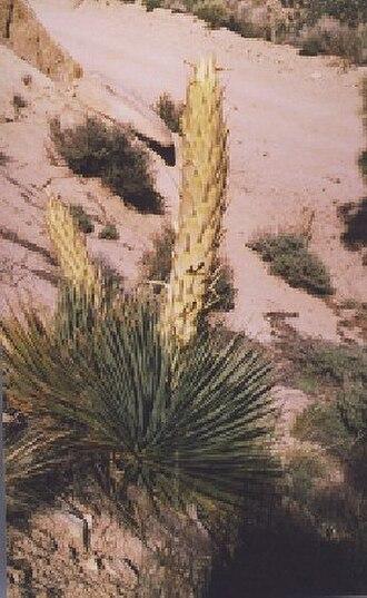 Domeland Wilderness - Parry's Beargrass