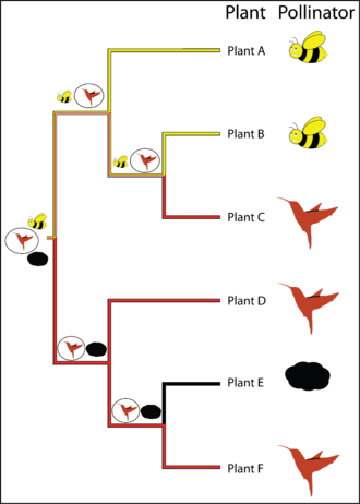 """Ancestral reconstruction - Figure 1. Phylogeny of a hypothetical genus of plants with pollination states of either """"bees"""", """"hummingbirds"""" or """"wind"""" denoted by pictures at the tips. Pollination state nodes in the phylogenetic tree inferred under maximum parsimony are coloured on the branches leading into them (yellow represents """"bee"""" pollination, red representing """"hummingbird"""" pollination, and black representing """"wind"""" pollination, dual coloured branches are equally parsimonious for the two states coloured). Assignment of """"hummingbird"""" as the root state (because of prior knowledge from the fossil record) leads to the pattern of ancestral states represented by symbols at the nodes of the phylogeny, the state requiring the fewest number of changes to give rise to the pattern observed at the tips is circled at each node."""