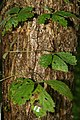 Parthenocissus quinquefolia 5zz.jpg
