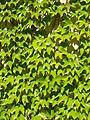 Parthenocissus tricuspidata leaves.jpg