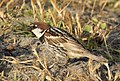 Passer hispaniolensis - Spanish Sparrow 04.jpg