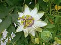 Passiflora 'White Mirror' 001.JPG