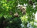Paulownia tomentosa fruits.jpg