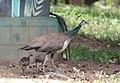 Peacock from Parambikulam T R (2).jpg