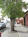Pear Tree Beaufort West.JPG