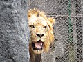 Peeping lion.jpg