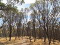 Pelham Reserve regrowth forest.jpg