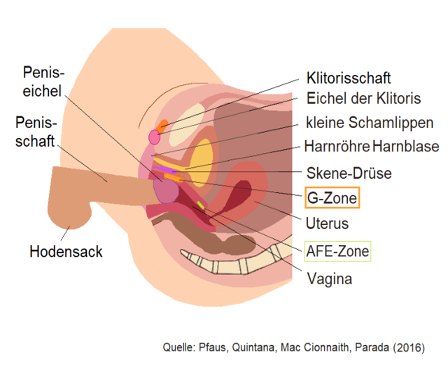 Penis schaft Base Of