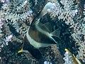 Pennant bannerfish (Heniochus chrysostomus) (32396202377).jpg