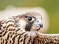 Peregrine Falcon at Bonney Bute Sep 15 2018 (44719189981).jpg