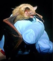 Das Bild zeigt eine kleine Fledermaus, die an einer Höhlenwand schläft