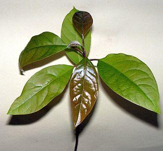 Молодой сеянец авокадо
