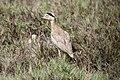 Peruvian Thick-knee (Burhinus superciliaris) (4856939192).jpg