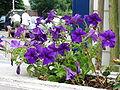 Petunia purple.JPG