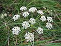 Peucedanum oreoselinum.jpeg