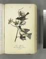 Pewee Flycatcher. 1. Male; 2. Female. (Cotton Plant. Gossypium Herbaceum) (NYPL b13559627-108320).tiff