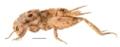 Pherodactylus micromorphus reconstruction.png