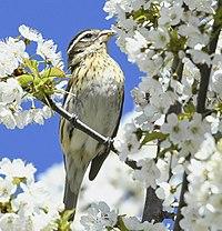 Pheucticus ludovicianus f Sam Smith Park Toronto.jpg